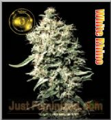 Greenhouse White Rhino feminized cannabis single seed uk